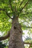 Alta quercia di pietra Fotografia Stock