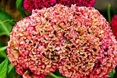 Alta risoluzione del fiore della cresta di gallo su una foglia verde Fotografie Stock