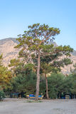 Alta sequoia sempreverde Fotografie Stock Libere da Diritti