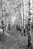Alta foresta di bw di chiave Immagine Stock Libera da Diritti