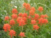 Alta Utah paint wild flowers Royalty Free Stock Image