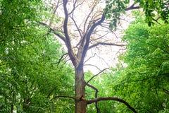 Alta vecchia foresta di verde della cenere dell'albero in primavera Fotografia Stock Libera da Diritti