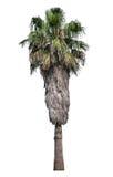 Alta vecchia palma isolata Immagine Stock Libera da Diritti