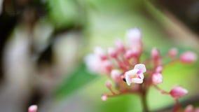 Alta videoripresa completa di risoluzione di definizione della frutta del fiore del cainito con la mosca, fondo vago stock footage