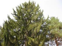 Alta vista de árbol del abeto de debajo Un árbol enorme y alto con verde largo ramifica Imágenes de archivo libres de regalías