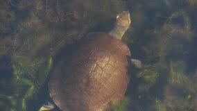 Alta vista de una natación amarillo-hecha frente septentrional de la tortuga en un billabong metrajes