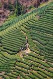 Alta vista dei campi del tè di Longjing Fotografia Stock