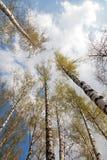 Alta vista della betulla e del cielo blu Immagine Stock