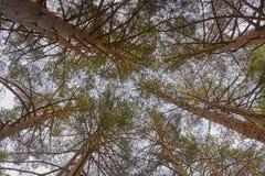 Alta vista della foresta del pino da sotto Priorità bassa della natura Immagine Stock Libera da Diritti