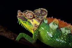 Altaeelgonis di hoehnelii di Trioceros del camaleonte del Monte Elgon fotografie stock libere da diritti