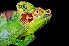 Altaeelgonis di hoehnelii di Trioceros del camaleonte del Monte Elgon fotografia stock