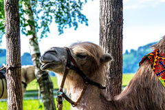 Altai Bactrian camel Royalty Free Stock Photo