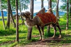 Altai Bactrian camel Stock Photography