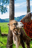 Altai Bactrian camel Royalty Free Stock Images
