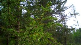 Altai beatyfull pijnboom Stock Foto's