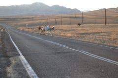 Altai berg, kamel på vägen arkivbild