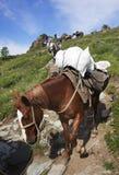 ALTAI-BERG, RYSSLAND - 14 JULI, 2016: Lokalt folk som använder hästar för trans. på det Belukha berget Arkivbild