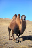 Altai camel. On mountains summer Stock Photos