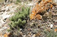 Altai góry rośliny Obraz Stock