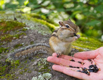Altai: Hand Feeding Chipmunk Stock Photography