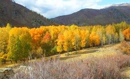 Altai-Herbstfarbe, goldener Birkenwald Stockbilder