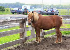 Altai horse breed shows language (compared to modern cars). Royalty Free Stock Photos