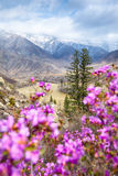 Altai landscape with Rhododendron dauricum flowers Royalty Free Stock Photo