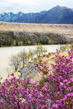 Altai landscape with Rhododendron dauricum flowers Stock Image