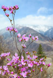 Altai landscape with Rhododendron dauricum flowers Stock Photo