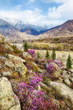 Altai landscape with Rhododendron dauricum flowers Stock Photos