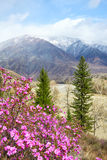Altai landscape with Rhododendron dauricum flowers Royalty Free Stock Photography