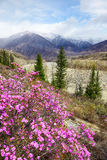 Altai landscape with Rhododendron dauricum flowers Royalty Free Stock Images