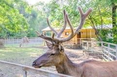 Altai maral Cervus elaphus sibiricus. Red deer, Altai maral Cervus elaphus sibiricus Royalty Free Stock Photography