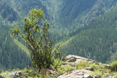 Altai mountains bush Stock Photos