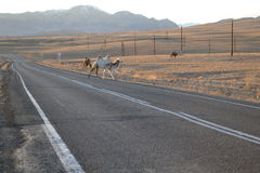 Altai Mountains, camels on the road. Altai Mountains, landscape, nature, mountain landscape, Kosh-Agach district, the M-52, the border zone, camels on the road Stock Photography