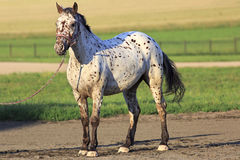 Altai native breed horse piebald or pied suit Stock Photo