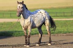 Altai native breed horse piebald or pied suit Stock Photo