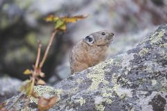 Altai pika on stone. Rodent. Altai pika on stone. Wild animal. Rodent Stock Images