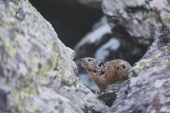 Altai pika on stone. Rodent. Altai pika on stone. Wild animal. Rodent Royalty Free Stock Photography