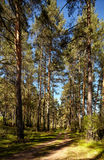 Altai pine forest Stock Image