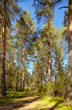 Altai pine forest Stock Photography