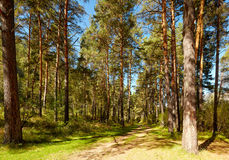 Altai pine forest Royalty Free Stock Photo
