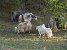 Altai, Russia. Wild animals in the mountain stock photos