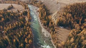 Altai, Siberia: natural landscape - mountains, river, autumn trees. Autumn mountain landscape: a river with a rolling river flows along the mountainous terrain stock footage