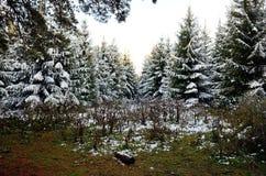 Altai-Wald Lizenzfreies Stockfoto