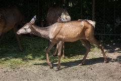 Altai wapiti Cervus canadensis sibiricus. Also known as the Altai maral Stock Images