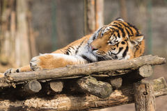Altaica Тигра пантеры сибирского тигра Стоковые Фото