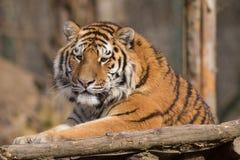Altaica Тигра пантеры сибирского тигра Стоковые Изображения