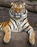 Altaica adulto relajado del Tigris del Panthera del tigre siberiano foto de archivo libre de regalías