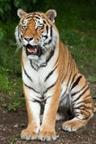 Altaica de tigris do Panthera do tigre Siberian Fotos de Stock Royalty Free